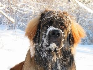 Do Leonbergers Shed by Leonberger Breed Information Pet365
