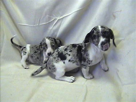 dapple puppies dapple dachshunds on dapple dachshund dachshund and dachshund puppies