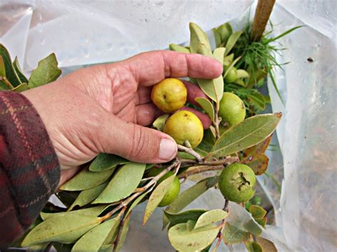 cherry tree yellow fruit guava yellow cherry tree psidium lucidium