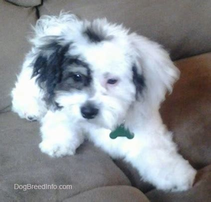 search zuchon on puppy haircuts zuchon shichon dog breed information and pictures