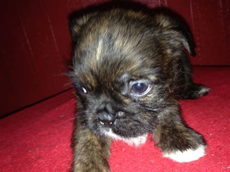 shih tzu bulldog cross pin bulldog shih tzu mix puppies on
