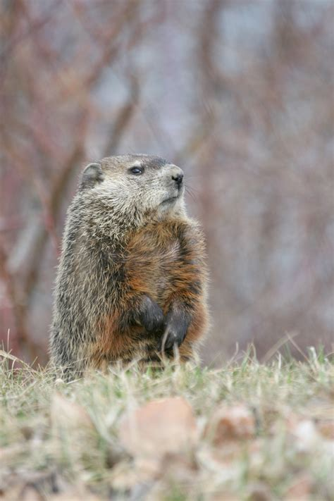 i have a groundhog in my backyard groundhog in backyard 28 images groundhog in backyard