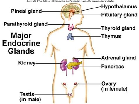 Endocrinologist Description by The Diagram Of Human With Endocrine Gland Human Anatomy Chart