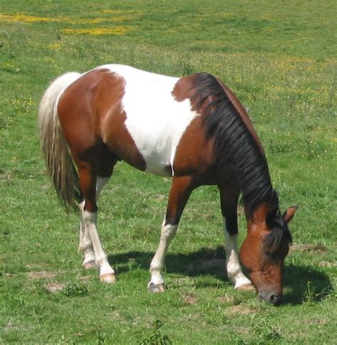 white pattern in horses tobiano horse color genetics