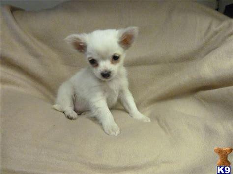 chihuahua puppies 29842