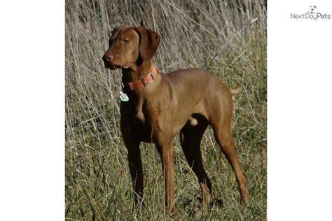 vizsla puppies price vizsla for sale for 775 near southern illinois illinois 6c860a4b 9221