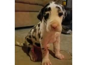 great dane puppies for sale ny great dane puppies for sale brookfield avenue staten island ny 209803