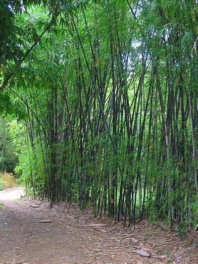 black bamboo plants bambusa lako timor bamboo plants