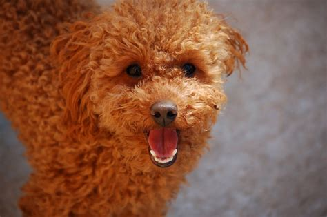 poodle dogs poodle stud for sale winchester hshire pets4homes