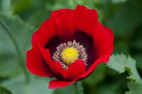 poppies and darwin knowlesville