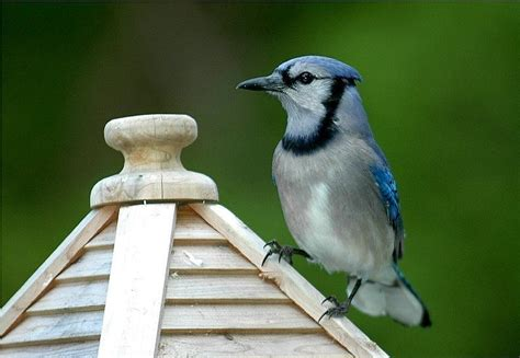bird pictures blue jay cyanocitta cristata by mrs ed