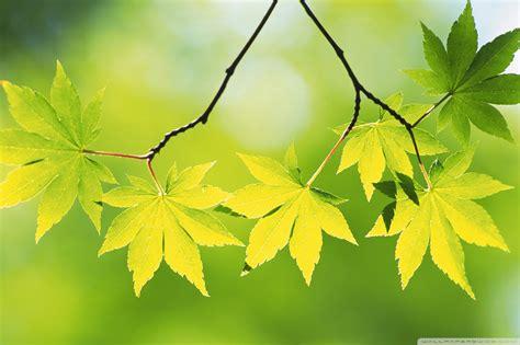 wallpaper daun semanggi gambar daun hijau gambar animasi apl android google play
