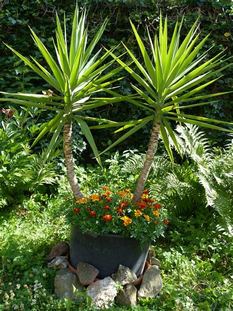yucca palme für draußen free photo yucca gigantea yucca elephantipes free