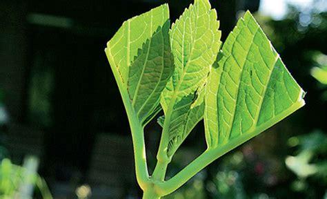 hortensien stecklinge hortensie vermehren vermehrung selbst de