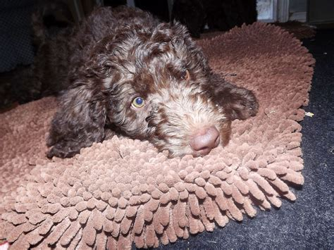 doodle treasures puppy mill doodle puppy mill free pictures finder