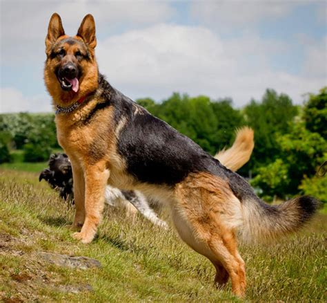 types of german shepherds types of german shepherds me and my pet