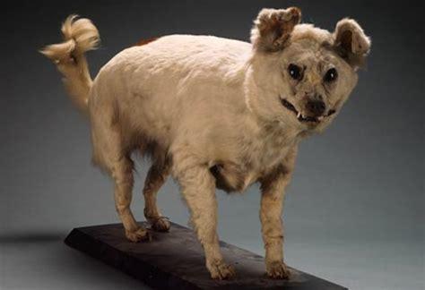 extinct dogs extinct breeds breeds picture