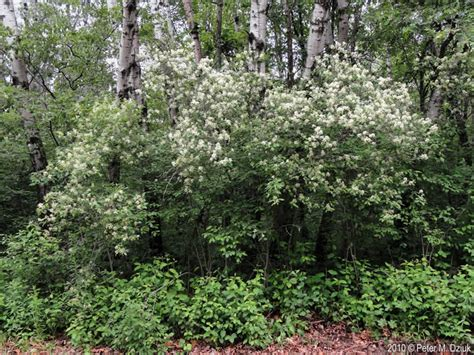 flowering dogwood shrub cornus racemosa gray dogwood minnesota wildflowers