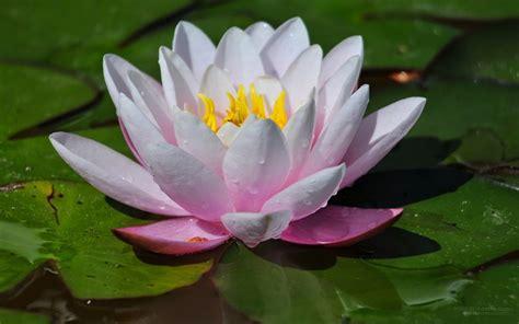 Biji Bunga Teratai manfaat bunga teratai untuk kesehatan cara tono tono