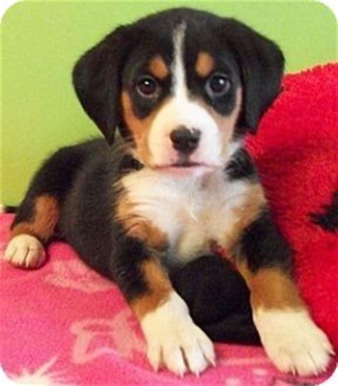 beagle shepherd mix puppy beagle german shepherd mix puppies search pets deutscher