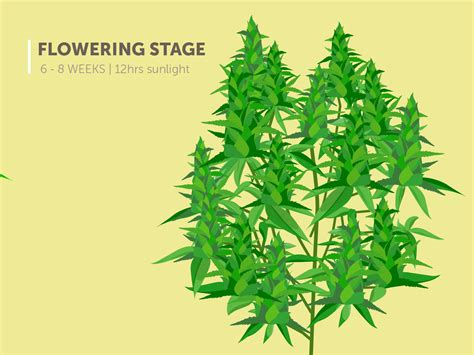 stages   marijuana plant growth cycle  pictures