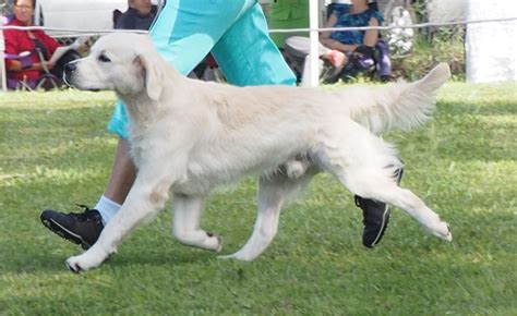 national show golden retriever 2017 diesel at his show on 7 march 2015 photo