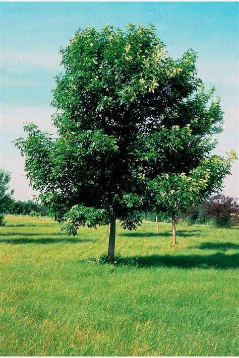 shade trees arrowhead enterprises