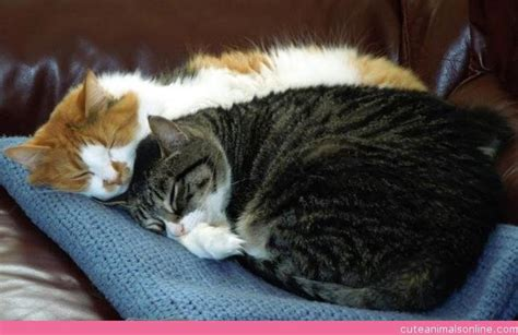cat and cuddling cats cuddling www pixshark images galleries with a bite