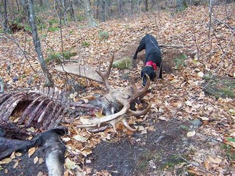 Moose Antler Sheds by 28 When Do Deer Shed Their Antlers Ontario Why