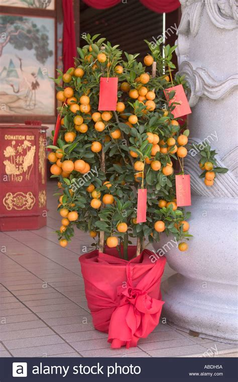 new year lime tree lime tree decorated with ang pows for new year