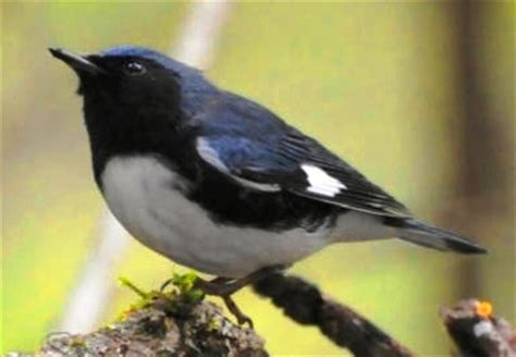 wild birds unlimited: blue black and white bird with a