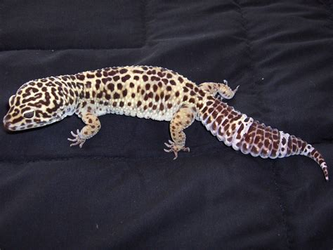 What Helps A From Shedding by Leopard Gecko Shedding Problems Pethelpful