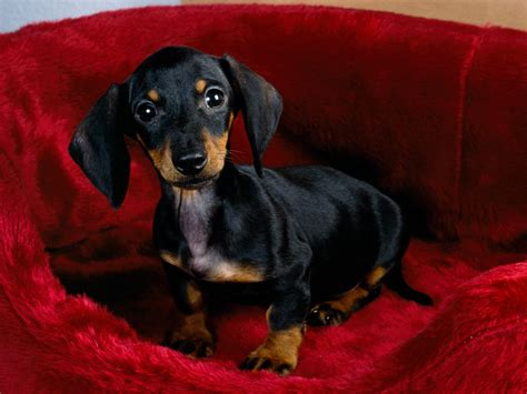 free dachshund puppies in free hq dachshund puppy wallpaper free hq wallpapers