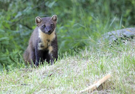Rspb Fear Proposed Planning Reforms Will Damage Wildlife by Secret Plans To Cull Pine Martens From Woods Are Fiercely