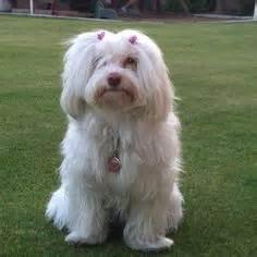 buy havanese puppy india havanese on havanese puppies havanese dogs and dogs