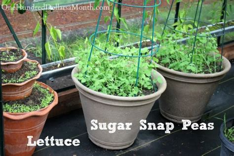 can dogs eat sugar snap peas growing vegetables in a greenhouse harvesting tomatoes