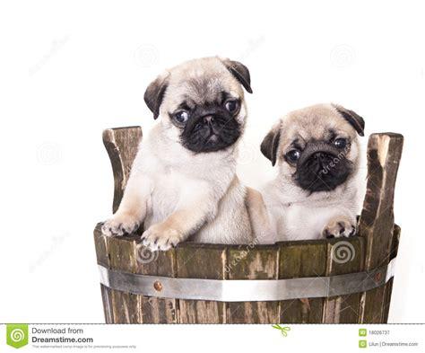 pug purebred pug purebred puppy royalty free stock photography image 18026737