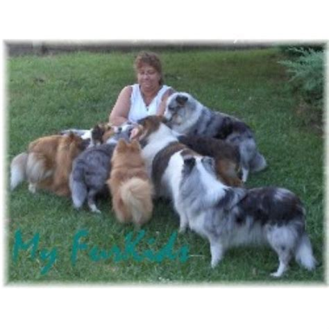 rescue puppies in pa shetland sheepdog sheltie breeders in pennsylvania freedoglistings