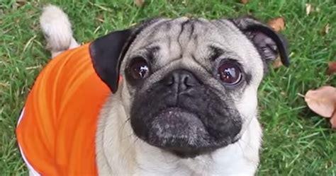 orange pug orange is the new black pug edition