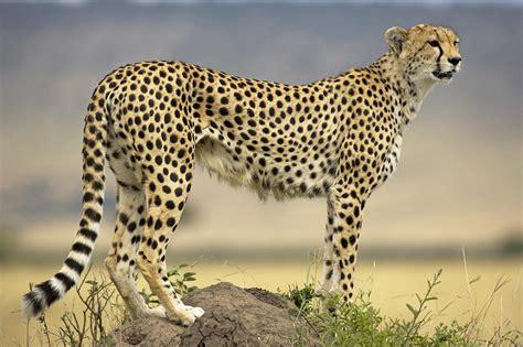 Most Popular Favorite Colors by Cheetah Acinonyx Jubatus On Termite By Winfried Wisniewski