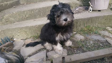 lowchen puppies for sale kc registered lowchen puppy chatham kent pets4homes