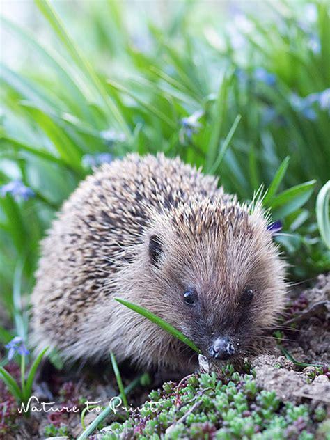 Kleiner Igel Im Garten 28 Images Ein Kranker Igel Auf
