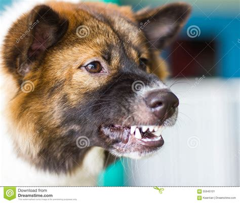 rottweiler growls when petted snarling threats stock photo image 55945101