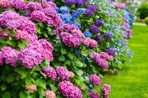 how to grow a hydrangea plant ebay