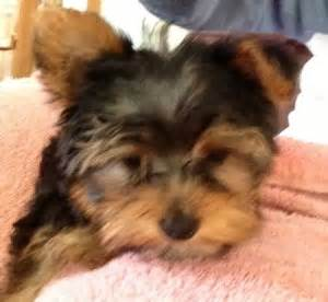 house yorkie puppies house a