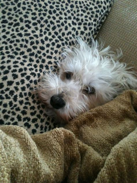 schnauzer poodle lifespan a schnoodle looks just like jep terrier mix