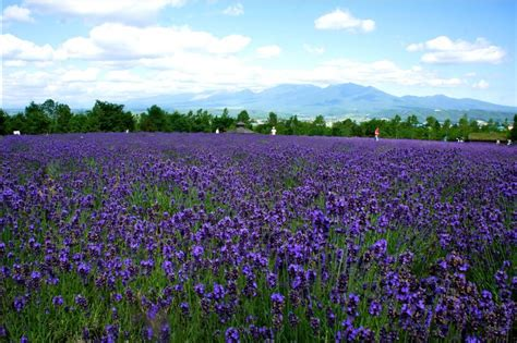 gambar ladang bunga lavender gambar pedia