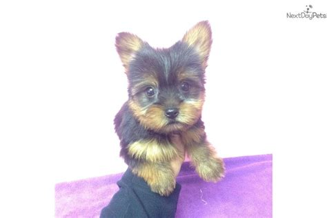 yorkie for sale in new york adorbale yorkie baby