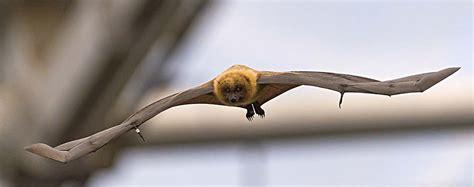 pipistrello volpe volante pipistrelli e altri mammiferi volanti animali volanti
