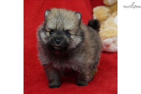 pomeranian puppies springfield mo pomeranian puppy for sale near springfield missouri d375134b e471